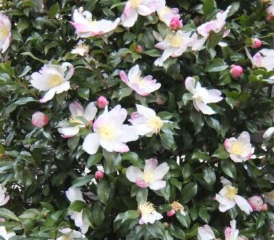 淡い椿の花