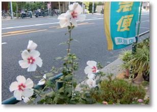 東京のハイビスカス