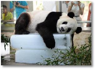 氷で寝そべるパンダさん