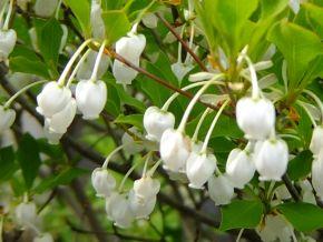 鈴のような形の白い花