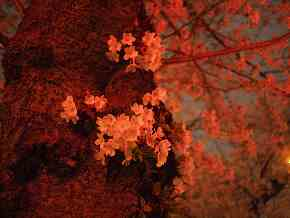 墨田の夜桜