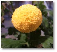 丸い菊だと思う
